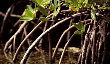 شجرة منغروف في المياه الهادئة