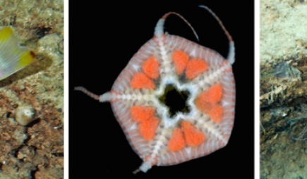 Montage of three new species found in deep tropical reefs
