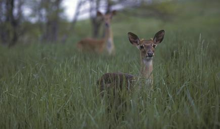 Young Eld's deer in tall grass