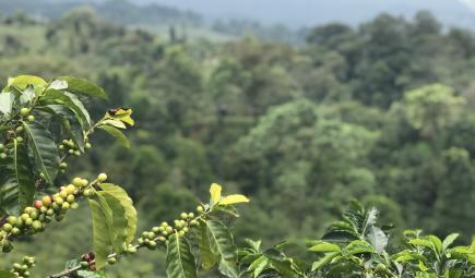 Coffee cherries ripening in shade.
