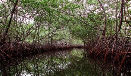 Mangroves with tangled roots along creek in Panama