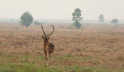 Eld's deer standing in misty field in Myanmar