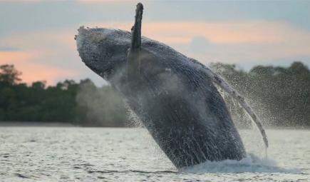 Humpback whale breaching off the Panama coast