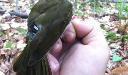 Bird with GPS tracker on its back sitting on researcher's hand