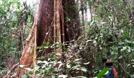 Tree in the Rabi plot in Gabon