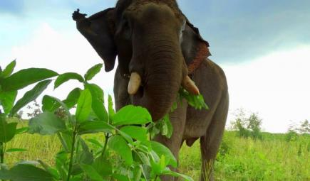 Endangered Asian elephant standing in Myanmar grassland