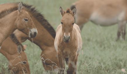 Wild horses in Mongolia.