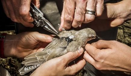 Conservation scientists putting GPS tag on endangered bird