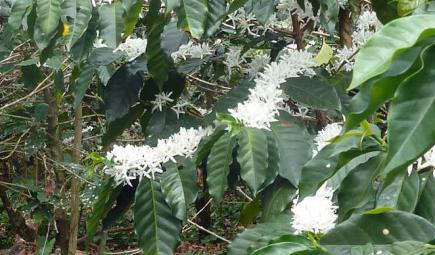 Flowering shade-grown coffee plant on Bird Friendly plantation