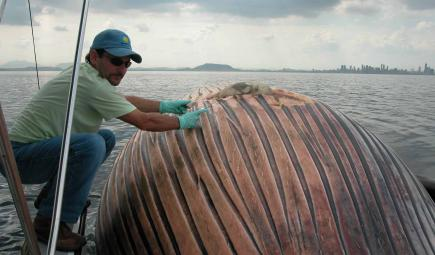 Marine biologist examining dead bryde whale