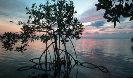 Mangrove tree in calm waters at sunset