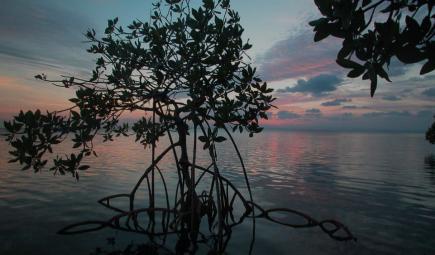 生长在巴拿马的红树属红树林。  照片来源:Kennedy Warne。
