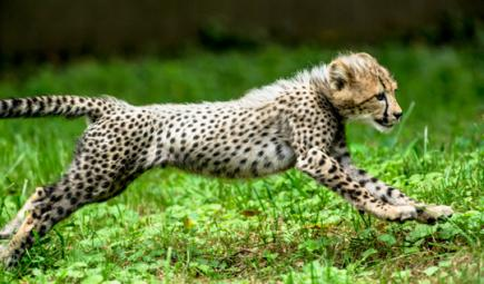 Young cheetah running in Namibia