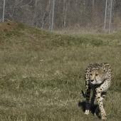 Biologist Adrienne Crosier observes a cheetah in an enclosure