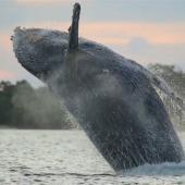 座头鲸冲向巴拿马海岸