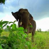 Endangered Asian elephant standing in Myanmar grassland