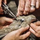العلماء المتخصصون في عمليات الحفظ يضعون شرائح خاصة بنظام تحديد المواقع على طائر مهدد بالانقراض