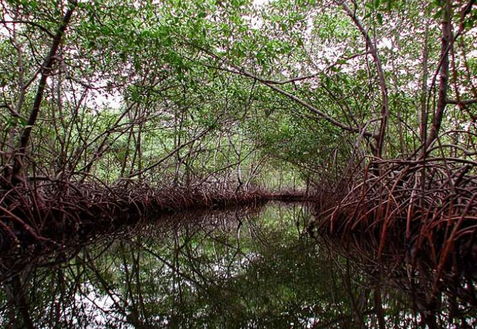 A thick stand of mangroves with tangled roots lines an island creek in Panama. Photo credit Ilka C. Feller.