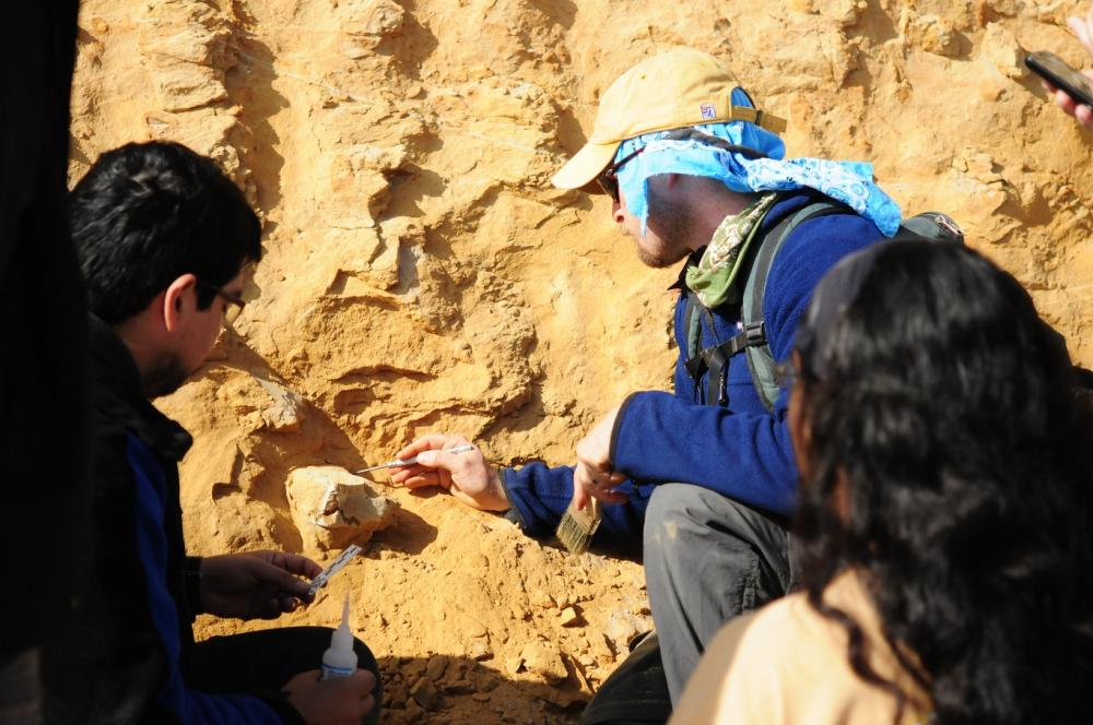 Drs. David Rubilar Rogers (Museo Nacional de Historia Natural) and Nicholas D. Pyenson (Smithsonian Institution) collect a fossil whale vertebra in the roadcut at Cerro Ballena in 2012. Photo Credit Smithsonian Institution