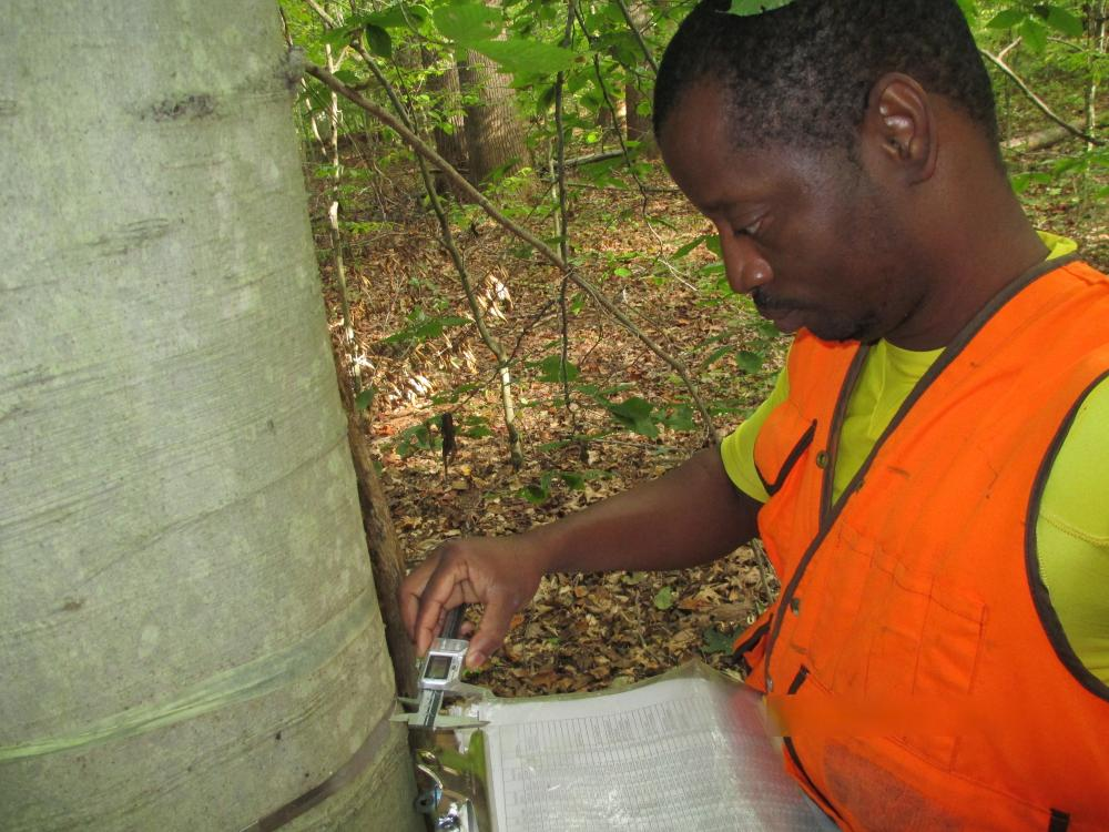 Hervé measuring intensive tree growth at SERC with Jess Parker in summer 2013. Credit: Smithsonian.