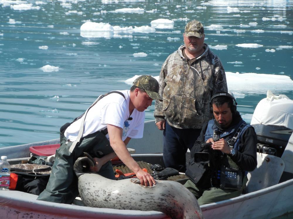 Banquise de la baie Yakutat, mai 2014. Jeremiah James (courbé) et Gary Johnson (solennel) ont recueilli un phoque commun victime de tirs.  Kai Monture, caméraman d'origine tlingit, a installé une caméra pour enregistrer la chasse à bord du bateau.  Crédit photo:  Aron Crowell.