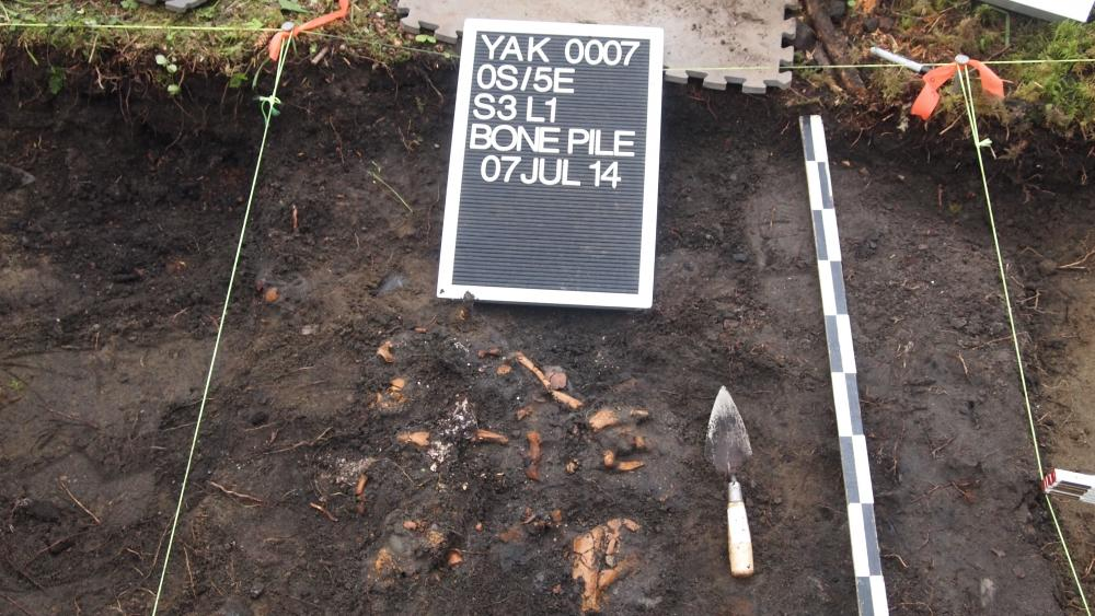 Concentration of seal bones in midden at the Old Town archaeological site, Knight Island, Yakutat Bay (2014). Photo credit: Aron Crowell.