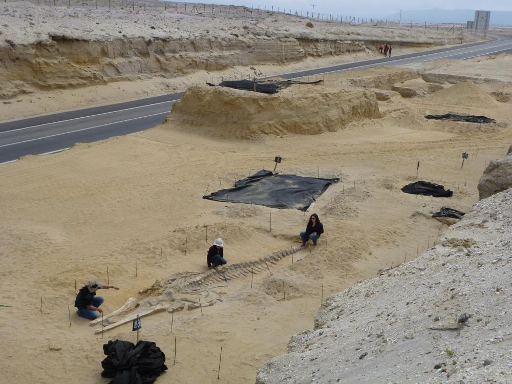 Fossil site in the Atacama Desert, Chile. Photo Credit Nicholas Pyenson / Smithsonian Institution