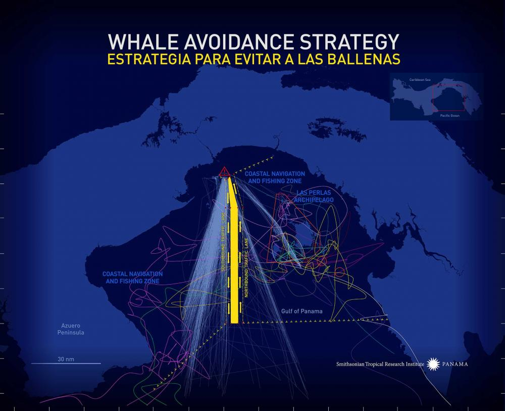 Whale Avoidance Strategy Graphic. Credit: Graphic Credit Jorge Aleman, Smithsonian Tropical Research Institute, Panama.
