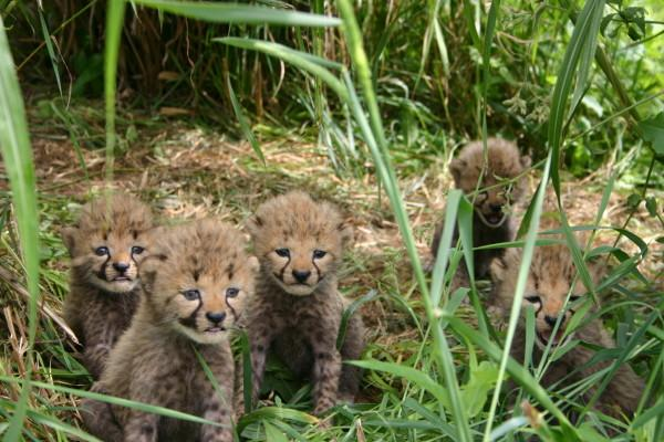 Cheetah cubs. Photo credit NZP.