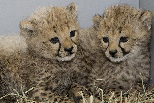 Guepardos cachorros.  Fotografía: Mehgan Murphy/Parque Zoológico Nacional (NZP).