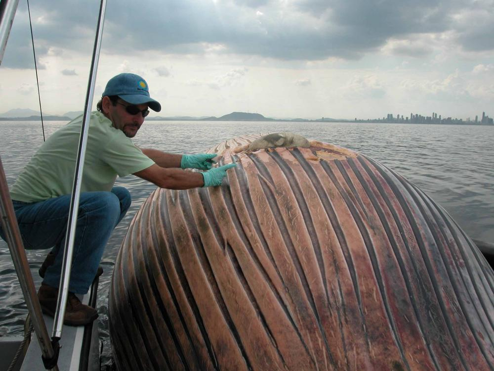 STRI scientist Hector Guzman with a dead bryde whale struck by a ship in front of Panama City near the entrance to the Panama Canal. Credit: Carlos Guevara